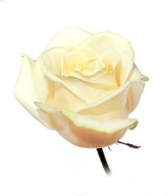 """Роза """"Аваланж"""""""